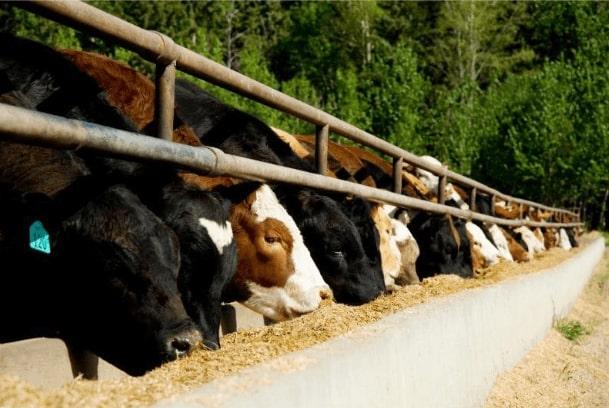 Alimentação gado
